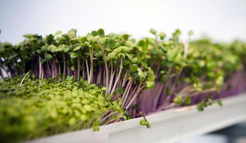 Микрозелень для получения витаминов круглый год